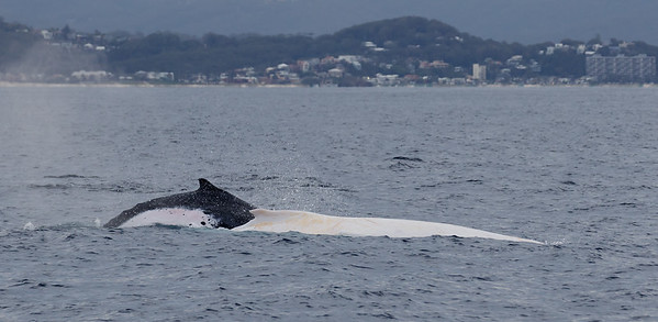 Migaloo - albino Humpback Whale and travel companion (normally pigmented)