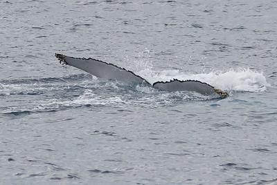 Humpback Whale (Migaloo's companion)