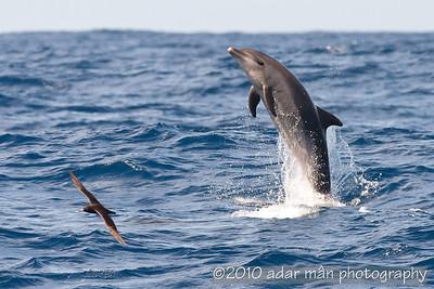 Offshore Bottlenose Dolphin Port Stephens, NSW