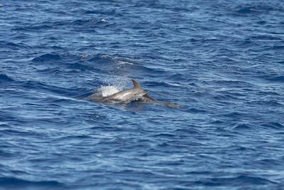 Offshore Bottlenose Dolphin Sydney, NSW April 09, 2011 IMG_0605