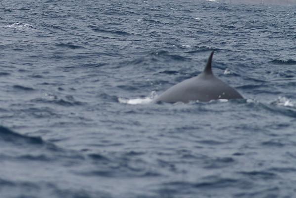 Sei Whale - morning Sydney, NSW November 12, 2011 IMG_4919