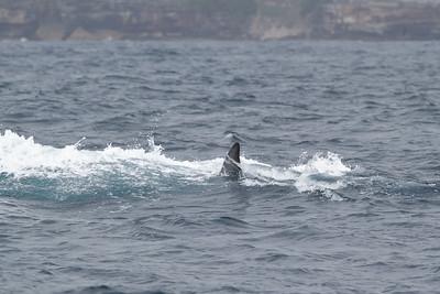 Sei Whale - morning Sydney, NSW November 12, 2011 IMG_4946