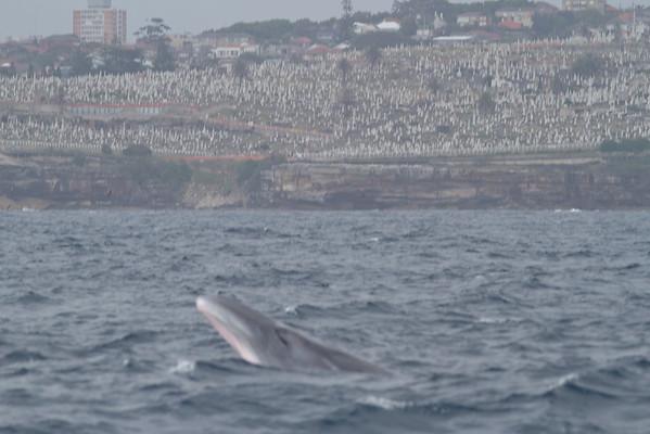 Sei Whale - morning Sydney, NSW November 12, 2011 IMG_4940