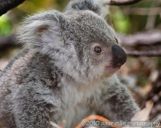 Koala - baby Magnetic Island, QLD
