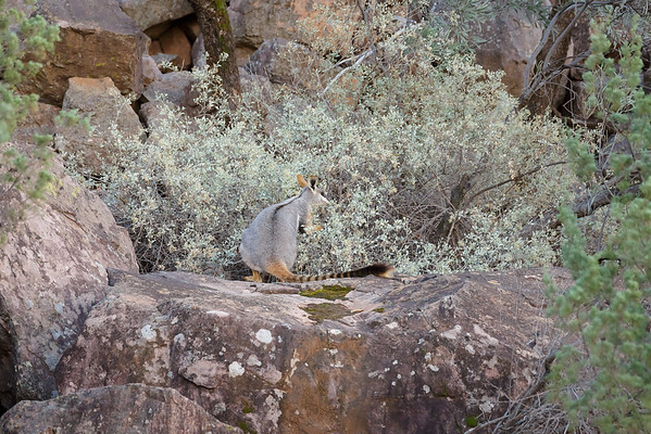 Yellow-footed Rock-wallaby