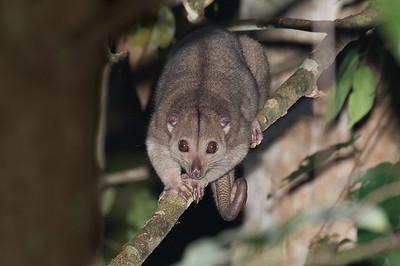 Grey Cuscus