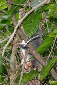 Spotted Cuscus