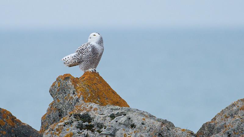 Snowy Owl - Whitby Harbour, Whitby, Ontario