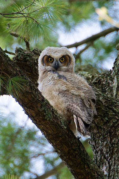 Great Horned Owlet - Thickson's Woods - Whitby, Ontario