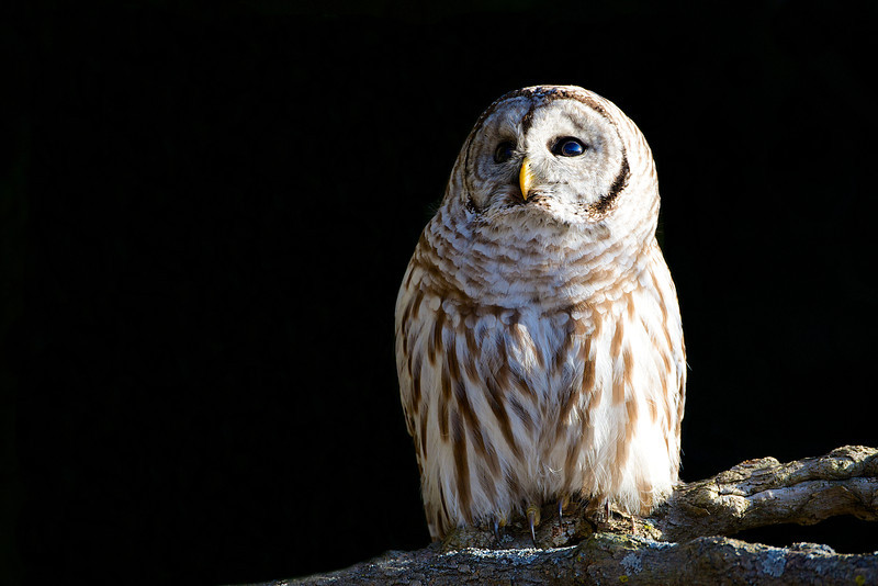 Barred Owl - Lynde Shores Conservation Area - Whitby, Ontario