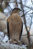 Sharp-shinned Hawk - Thickson's Woods - Whitby, Ontario