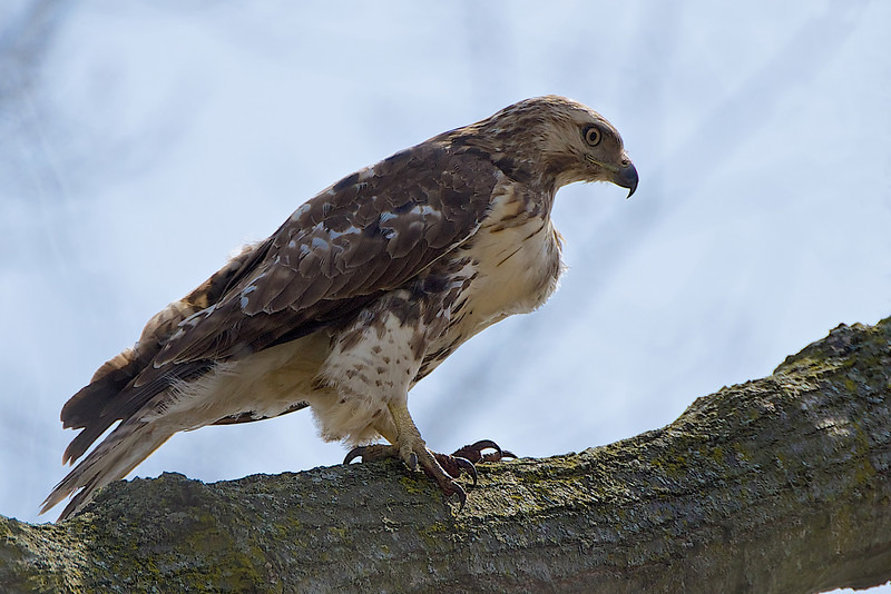 Red-Tailed Hawk - Lynde Shores Conservation Area - Whitby, Ontario