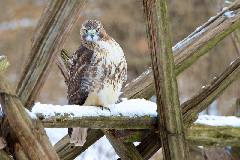 Red Tailed Hawk - Lynde Shores Conservation Area - Whitby, Ontario