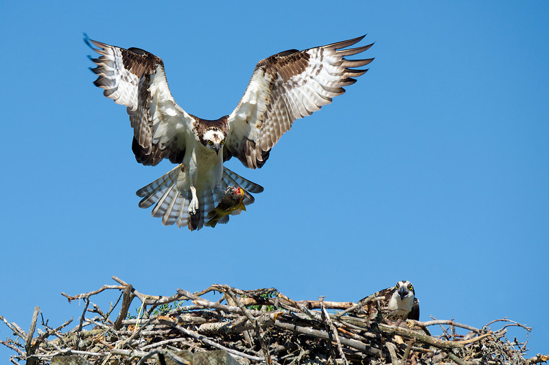 Osprey - Lake Dalrymple and Carden Alvar, Ontario