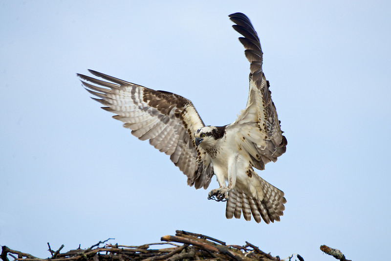 Osprey - Lake Dalrymple and Carden Alvar, Ontario