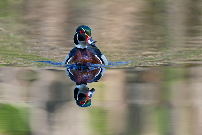 Wood Duck, Grenadier Pond - High Park