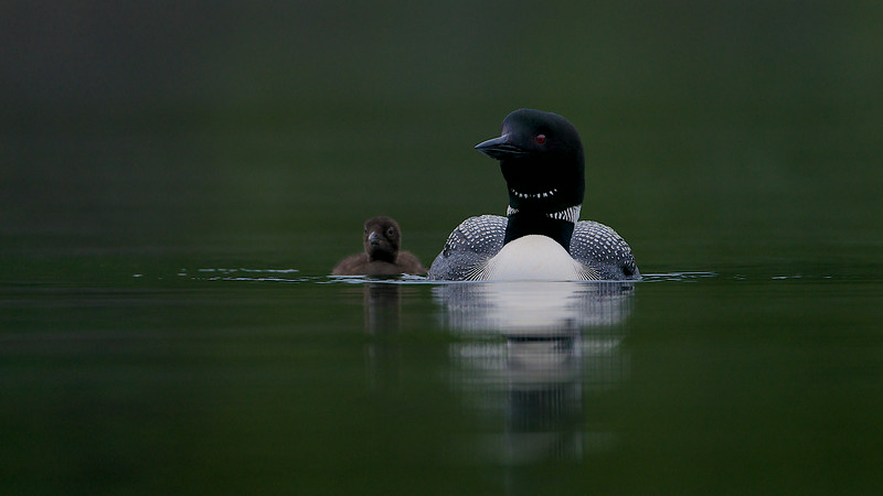 Great Northern Loons