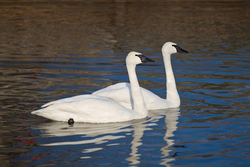 Bluffer's Park Swans
