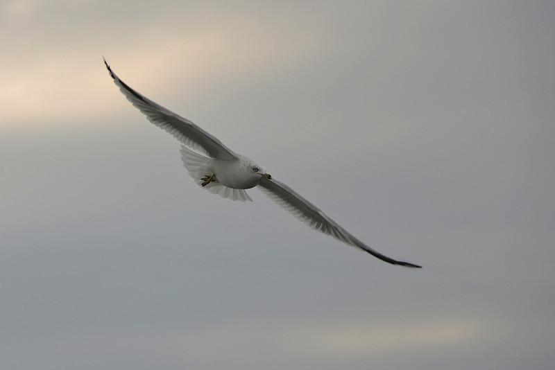Gull in Flight Over Coburg