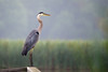 Great Blue Heron - Lynde Shores Conservation Area - Whitby, Ontario