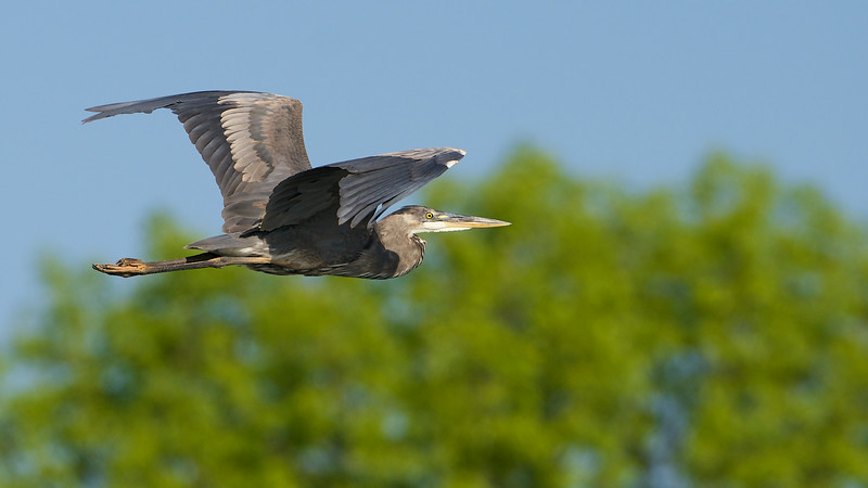Great Blue Heron - Cranberry Marsh - Whitby, Ontario