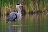 Great Blue Heron - Rouge River, Toronto