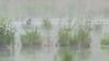 Great Blue Heron - Cranberry Marsh