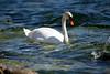 Swan - Colonel Samuel Smith Park - Etobicoke, Ontario
