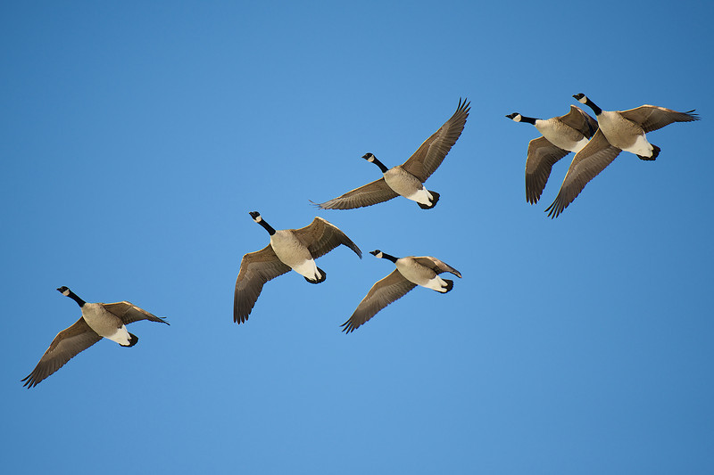 Canada Geese - Whitby Harbour, Ontario