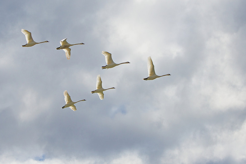 Swans - Lynde Shores Conservation Area - Whitby, Ontario