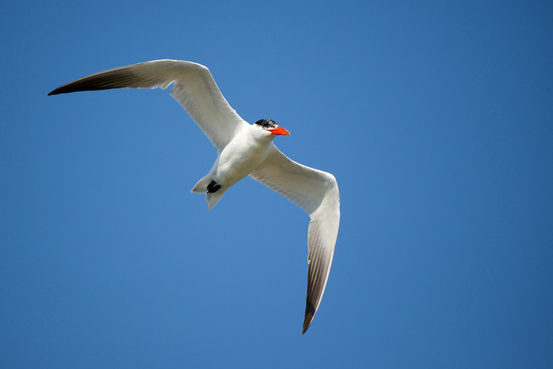 Tern - Lynde Shores Conservation Area - Whitby, Ontario