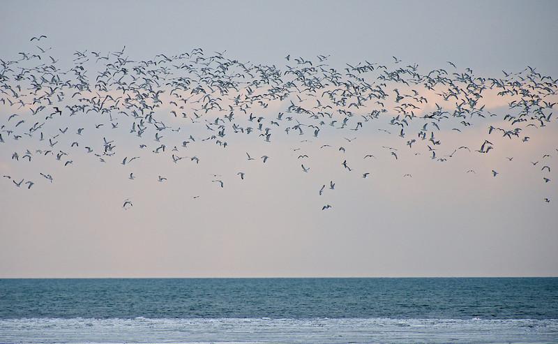 Gulls, Gulls and More Gulls at Ashbridges Bay - Toronto, Ontario