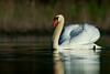 Mute Swan - Cranberry Marsh - Whitby, Ontario