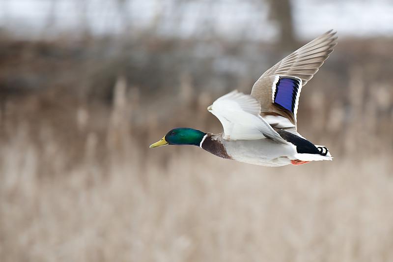 Mallard - Lynde Shores Conservation Area - Whitby, Ontario