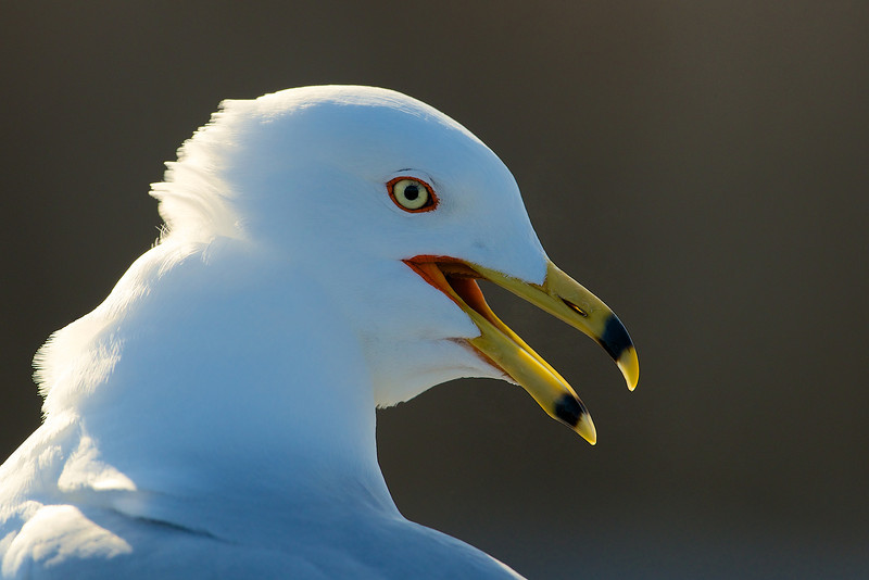 Sea Gull - Lynde Shores Conservation Area - Whitby, Ontario