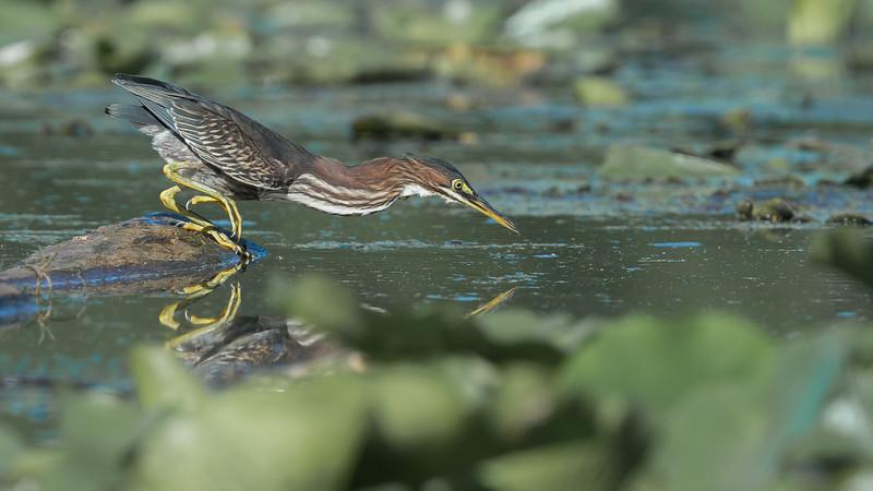 Green Heron - Cranberry Marsh