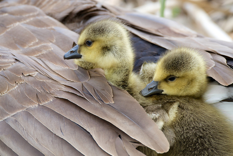 Goslings - Lynde Shores Conservation Area - Whitby Ontario