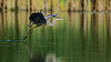 Great Blue Heron - Rouge River, Toronto