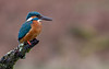 Kingfisher, Scotland