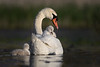 Mute Swan and Cygnets