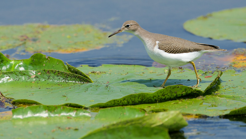 Sandpiper - Little Reesor Pond, Toronto