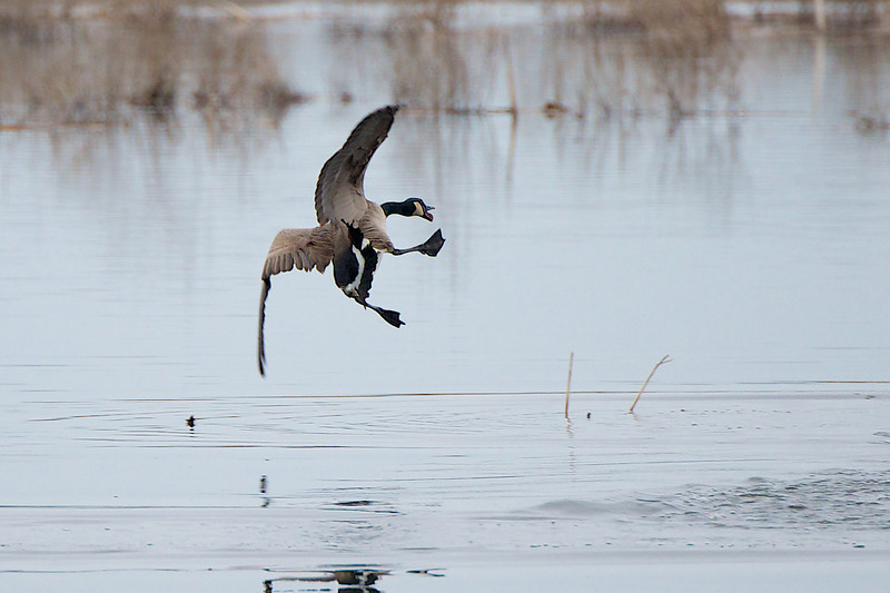 Crazy Goose - Lynde Shores Conservation Area - Whitby Ontario