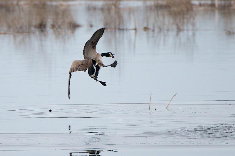 Crazy Goose - Lynde Shores Conservation Area - Whitby Ontario
