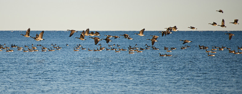 Flight of Geese - Lynde Shores Conservation Area - Whitby, Ontario