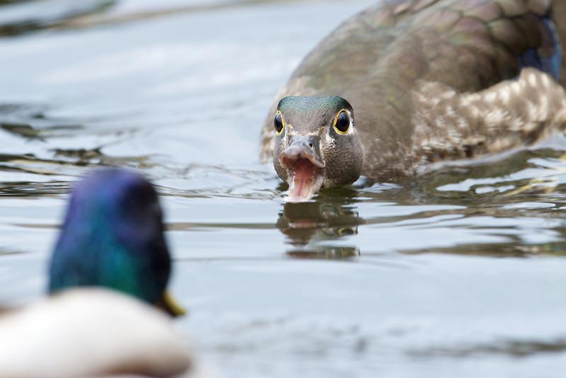 Wood Duck, Grenadier Pond - High Park