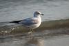 Bluffer's Park Gull