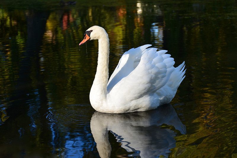 Swan at Toronto's Centre Island