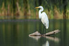 Great Egret - Rouge River, Toronto