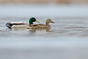 Cranberry Marsh Mallards