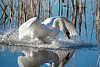 Swan - Lynde Shores Conservation Area - Whitby, Ontario